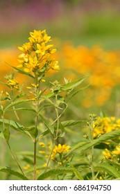 Lysimachia vulgaris. Yellow Loosestrife - Shutterstock ID 686194750