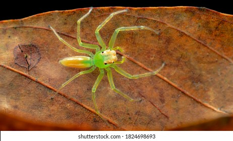 Lyssomanes viridis, commonly known as the magnolia green jumper, is a species of jumping spider of the genus Lyssomanes. This spider is a family of Salticidae.