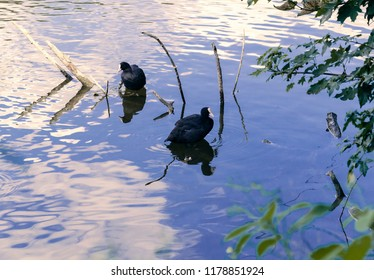 Lysukha small waterfowl birds of the cowherd, black, floating on the pond