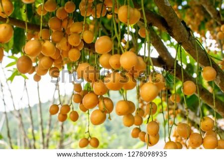 Ma Fai tropical fruit