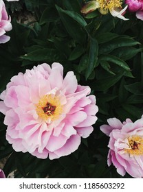 'Ma Petite Cherie' Peony flowers blooming in the garden