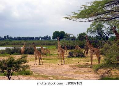 Maasai giraffes, Selous National Park, Tanzania