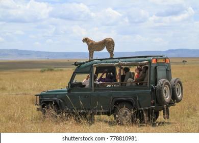 Maasai Mara, Mara / Kenya - August 28 2012: Cheetah interacts with a Safari Vehicle