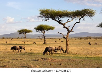 MAASAI MARA NATIONAL RESERVE, KENYA, AFRICA - FEBRUARY 17th 2018: Herd of Wildebeest grazing on the savannah of Naboisho Conservancy with acacia trees and mountains in evening sunlight