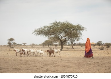 maasai woman with her goats, taking them home at sunset