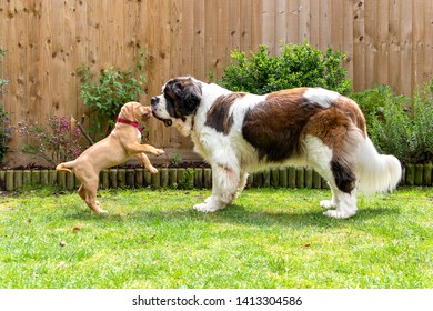 Mabel, an 10 week old Dogue de Bordeaux (French Mastiff) bitch, with the less common fawn isabella colouring, plays with her new housemate Gracie, a 10 year old Saint Bernard.