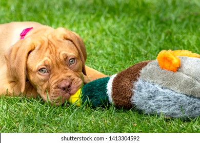 Mabel, an 10 week old Dogue de Bordeaux (French Mastiff) bitch, with the less common fawn isabella colouring, plays with her favourite duck toy, trying to find the squeaky element hidden inside.