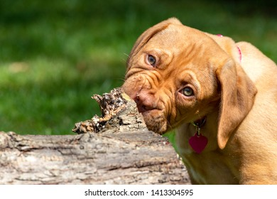 Mabel, an 10 week old Dogue de Bordeaux (French Mastiff) bitch, with the less common fawn isabella colouring, finds a fallen tree stump fascinating, as well as providing a great chewing post.