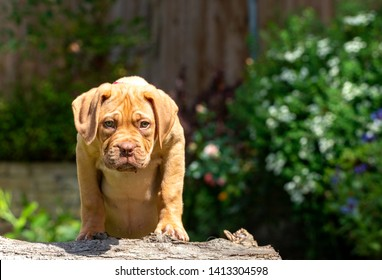 Mabel, an 10 week old Dogue de Bordeaux (French Mastiff) bitch, with the less common fawn isabella colouring, finds a fallen tree stump fascinating, here standing upon it to look out over the garden.