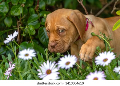 Mabel, an 10 week old Dogue de Bordeaux (French Mastiff) bitch, with the less common fawn isabella colouring, comes up against a sea of large daisies, pawing them down to check her escape.