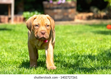 Mabel, an 8 week old Dogue de Bordeaux (French Mastiff) bitch, with the less common fawn isabella colouring, investigates her new garden, making the most of the warm summer sunshine.