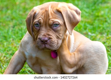 Mabel, an 8 week old Dogue de Bordeaux (French Mastiff) bitch, with the less common fawn isabella colouring, scratches at her new collar which has initially become an irritant for her.,