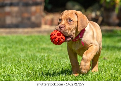 Mabel, an 8 week old Dogue de Bordeaux (French Mastiff) bitch, with the less common fawn isabella colouring, plays with her new chew ball, having discovered that it holds treats in the grooves!