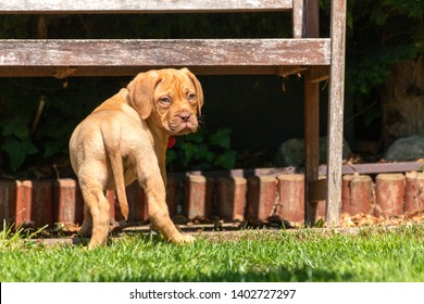 Mabel, an 8 week old Dogue de Bordeaux (French Mastiff) bitch, with the less common fawn isabella colouring, looks behind her to make sure she's not alone as she investigates her new garden.