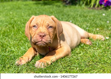 Mabel, an 8 week old Dogue de Bordeaux (French Mastiff) bitch, with the less common fawn isabella colouring, chews on a piece of grass as she lays in her new garden.