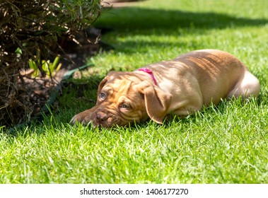 Mabel, an 8 week old Dogue de Bordeaux (French Mastiff) bitch, with the less common fawn isabella colouring, finds some shade in by the flower bed of her new garden.