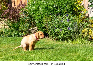 Mabel, an 8 week old Dogue de Bordeaux (French Mastiff) bitch, with the less common fawn isabella colouring, goes to the toilet in her new garden, part of her house training.