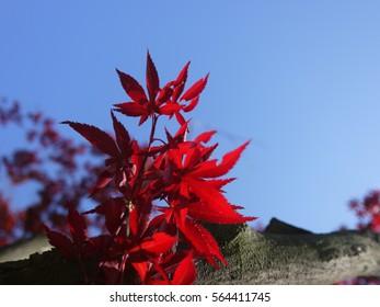 Mable leaf and blue sky background, Korea