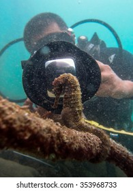 MABUL ISLAND, MALAYSIA - 10 JUN 2015 : Marine biologist taking photograph of seahorse in its habitat. Underwater photo on Jun 10 2015.