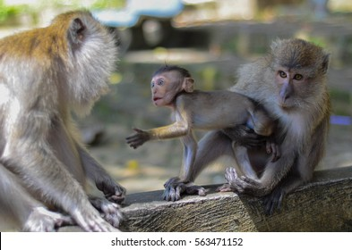 Macaca Baby with her parents at Tiger Cave Temple in Krabi, Thailand