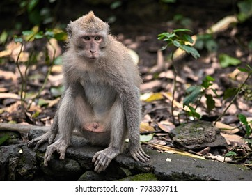 Macaca Fascicularis, the endemic species of monkeys in Monkey Forest, Bali, Indonesia.