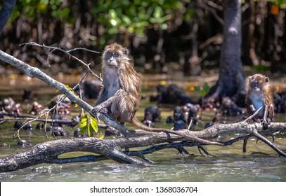 Macaca irus monkeys living in mangrove forest at Koh Lanta, Krabi, Thailand.