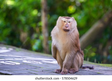 A macaca monkey,  Khao Toh Sae Viewpoint on the Highest Hill in Phuket, Thailand.