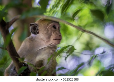 Macaca Monkey looking away