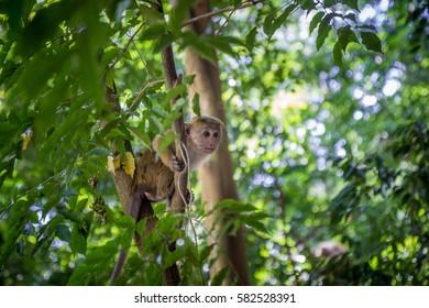 Macaca Monkey in tree
