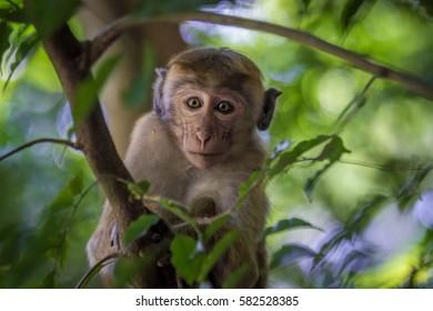 Macaca Monkey in tree, close up
