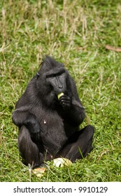 Macaca Nigra sitting in the grass and eating fruit