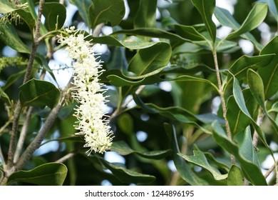 Macadamia flower or Macadamia nut, Roundleaved Sundew, Macadamia integrifolia