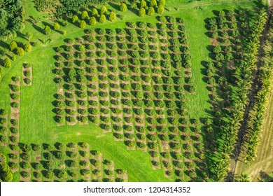 Macadamia nut farm aerial drone top view shot of farming land in Hawaii, USA.