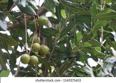 Macadamia or Macadamia nut, Roundleaved Sundew, Macadamia integrifolia
