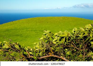 Macadamia nut tree along the Northern Kohala mountain side, Big Island, Hawaii