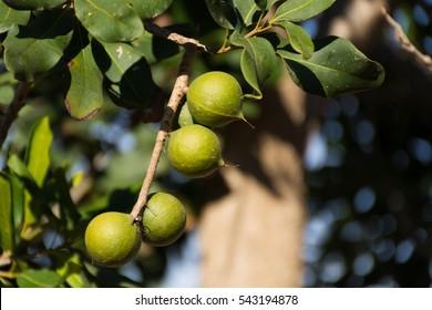 Macadamia nuts on the evergreen tree, macadamia plantation  - expensive fat nuts