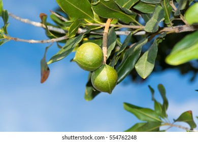 Macadamia nuts on the evergreen tree, macadamia plantation  - expensive fat nuts
