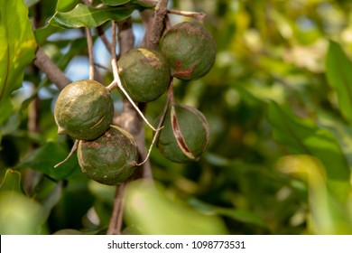 Macadamia nuts ready for harvesting