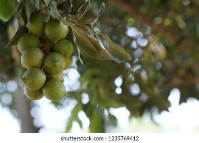 Macadamia or  Roundleaved Sundew