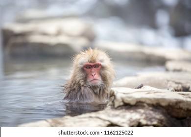 macaque ape take a bath