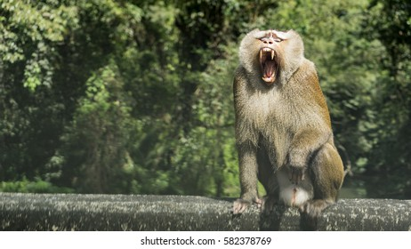 Macaque be open mouth threatening anger