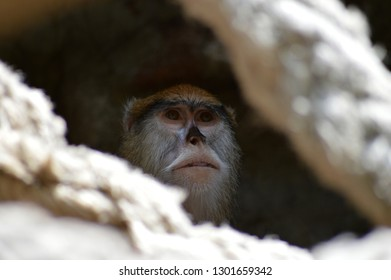 Macaque face at zoo