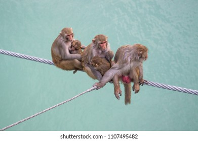 the macaque family siting risky on the sling line over the cliff