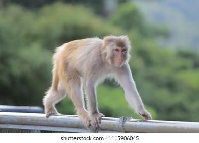 Macaque at Kam Shan Country Park, Kowloon