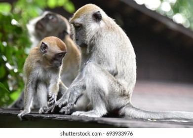 Macaque Monkey of Asia
