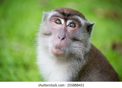 Macaque monkey in Bako national park in Borneo, Malaysia