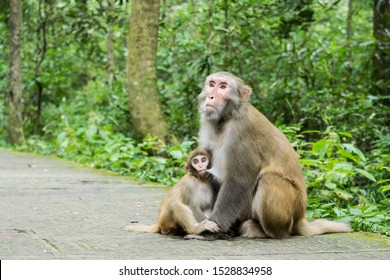Macaque Monkey breast feeding her baby and protects him from hikers in the Zhangjiajie National Park.