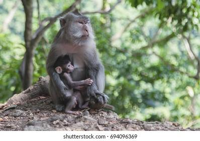 Macaque monkey breastfeeding your baby, Lombok. Indonesia