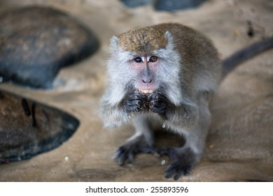 Macaque monkey with different color of eyes eating food in Borneo, Malaysia