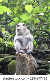 Macaque, Monkey Forest, Ubud, Bali, Indonesia